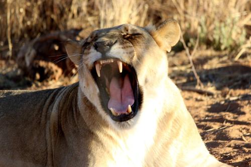 Leonessa fotografata durante le riprese del documentario in Namibia
